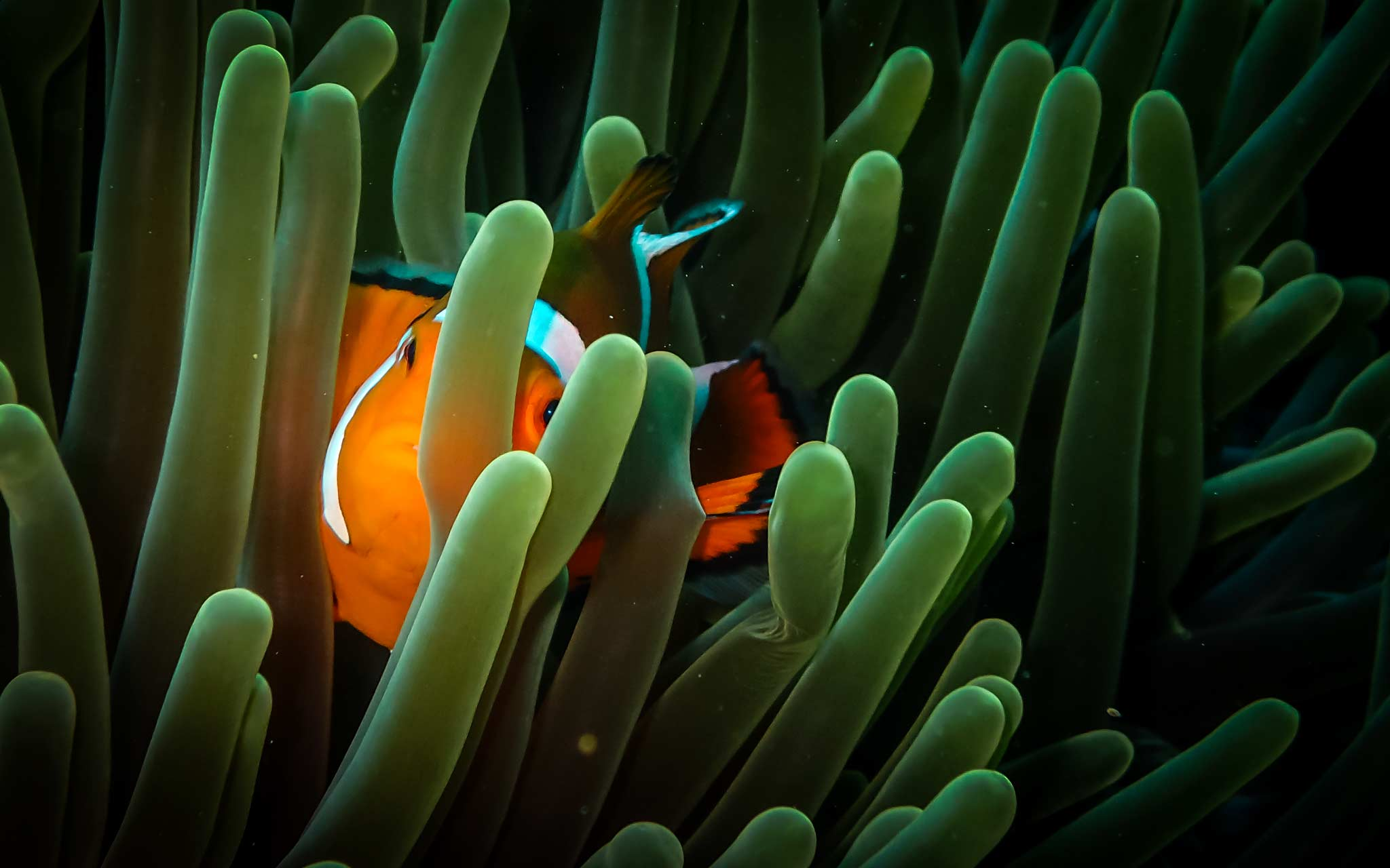 Anemone fish in Bacuit Bay